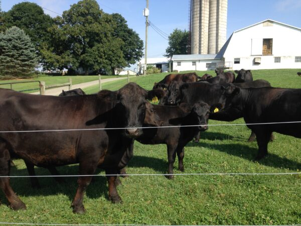 The Smoker Family Cattle Image